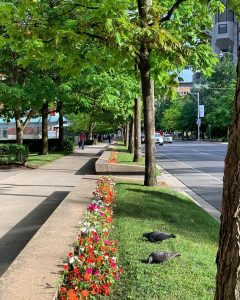 Trees and grass along sidewalk in front of Innis College Residence on Saint George Street facing south.